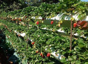 Strawberry Farm in mahabaleshwar
